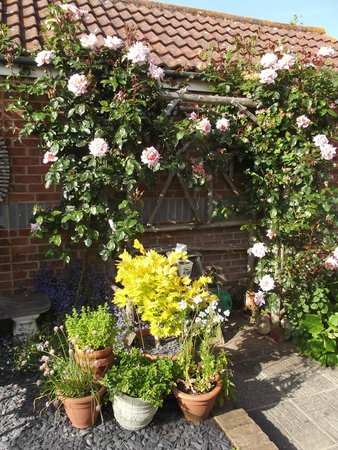 March Cottage B&B: Our favorite rose starts to bloom.