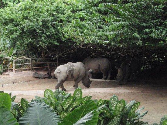 Singapore Zoo : the big Rhinoceros