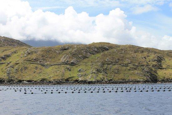 Killary Fjord Boat Tours: Killary mussels