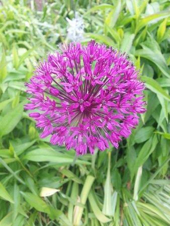 University of Oxford Botanic Garden: Alium in the gardens
