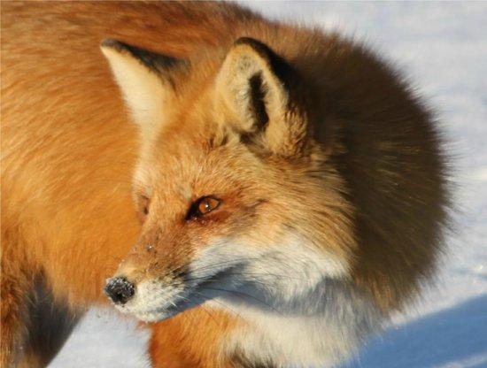 Parc Des Iles de Boucherville : Le renard