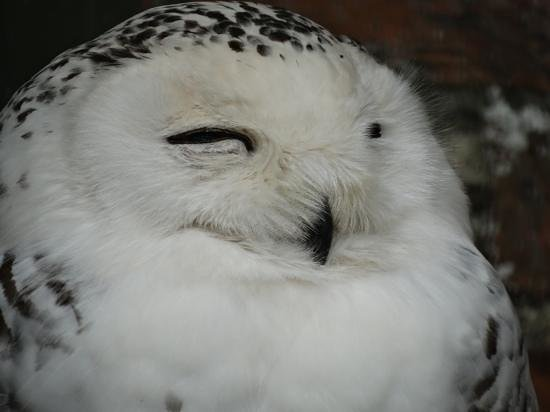 Scottish Owl Centre: A happy Snowy Owl