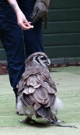 Scottish Owl Centre: One of the stars of the flying display