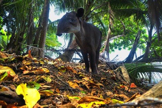 Corcovado National Park : Tapir