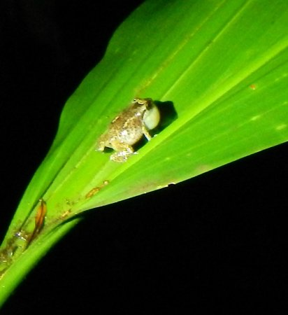Greentique Costa Rica Tours: Ding frog (?) - sorry, don't remember the names