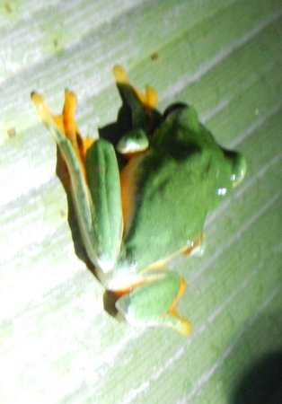 Greentique Costa Rica Tours: Flying red-eyed tree frog