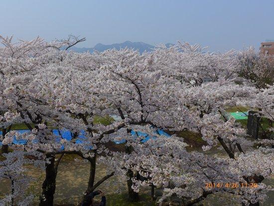 Morioka Castle Ruins : cherry blossom