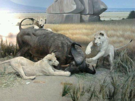 Cabela's: Africa display