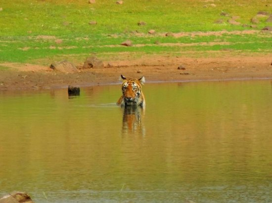 a trip to tadoba tiger reserve Text and photos by: dhruv gupta trying to sum up those 6 days spent in tadoba  is a daunting task and i feel very nostalgic as i try to express my emotions.
