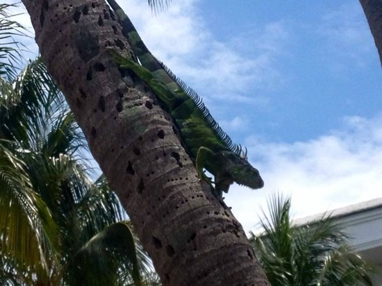 Lago Mar Beach Resort & Club: Local Iguana