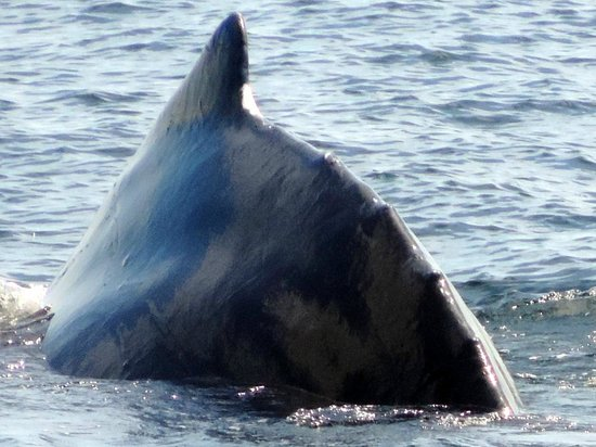 Bar Harbor Whale Watch Company : Humpback