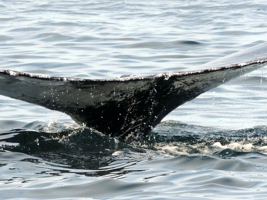 Bar Harbor Whale Watch Company : fluke