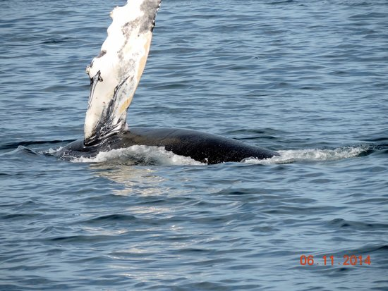 Bar Harbor Whale Watch Company : whale rolling