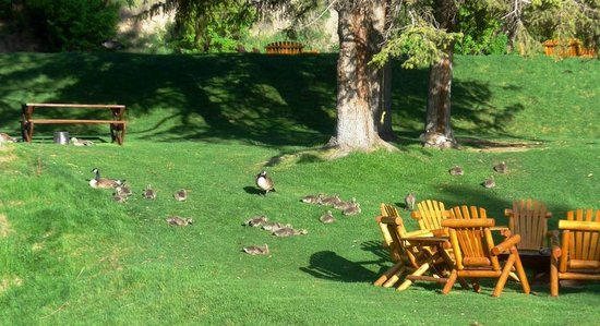 Rustic Inn Creekside Resort and Spa at Jackson Hole: Canadian Geese