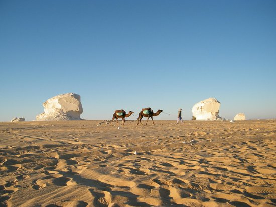 Farafra, Egypten: camels in the morning