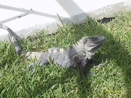 El Dorado Royale, by Karisma: Gus our pet lizard