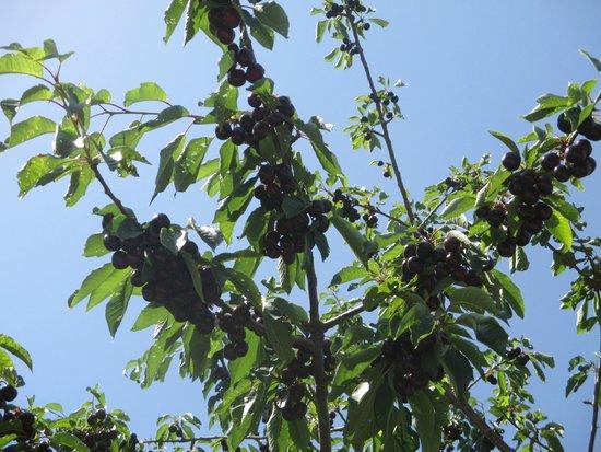 Alahuar Hotel: Cerezas en el jardín del hotel