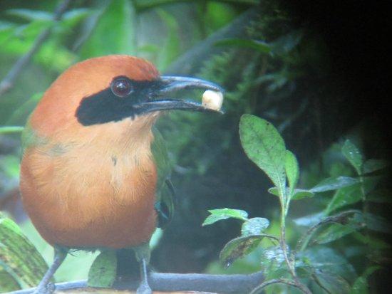 Cabanas Armonia y Jardin de Orquideas : Motmot, oportunidad de observar esta ave mientras se desayuna