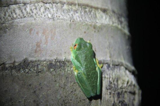 Black Rock Lodge : Red Eye frog