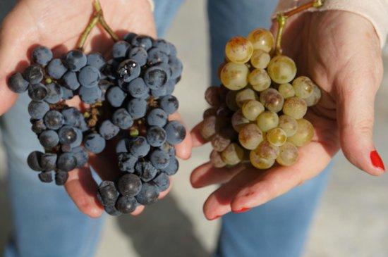 Cavas Wine Lodge: minha esposa segurando cachos de uvas do local