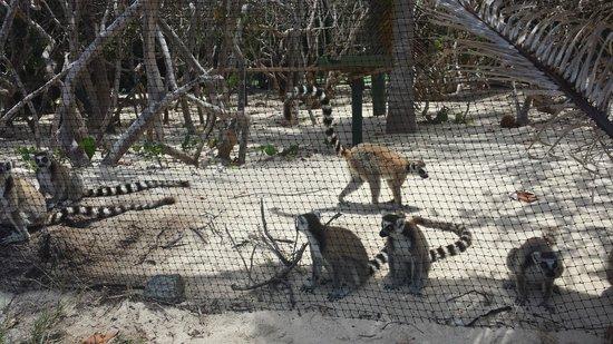 Gumption's Tours BVI: Lemurs on Necker Island