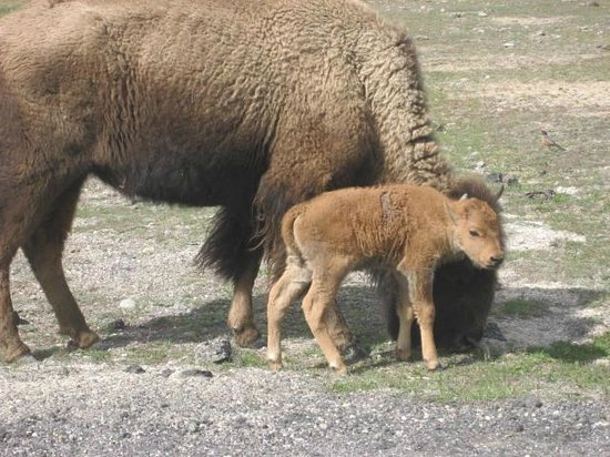 A Day Old Red Dog With Momma Bison At Old Faithful