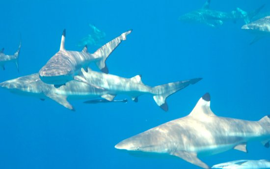 Maohi Nui : Swimming with Sharks