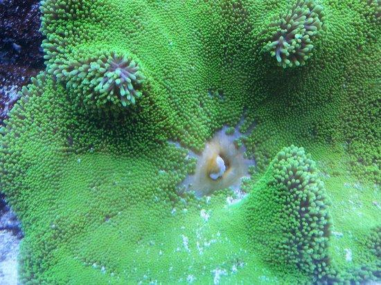 Aquarium du Quebec : Corail