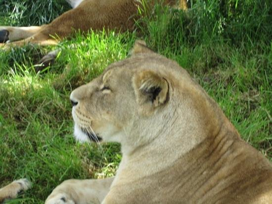 Woburn Safari Park: 1 metre away from a lion at Woburn