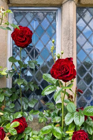 Haddon Hall : Red Rose in front of window