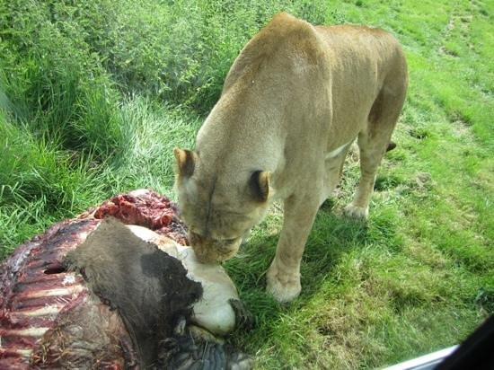Woburn Safari Park: we were this close on our Off Road Safari