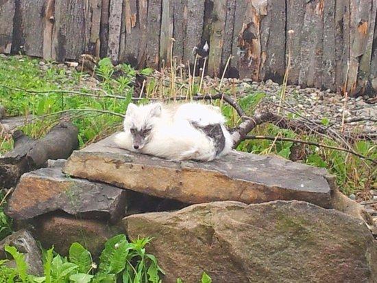 Aquarium du Quebec : Le renard