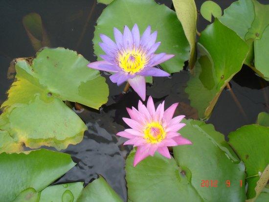 The Golden Mount (Wat Saket): lotus flower
