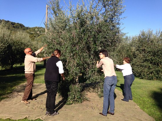 Agriturismo Podere San Lorenzo: Olive Harvest