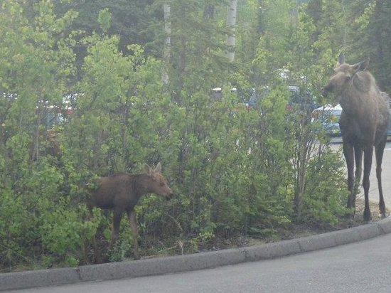Denali Visitor Center : Moose with 2 calves in parking lot of bus and shuttle stop