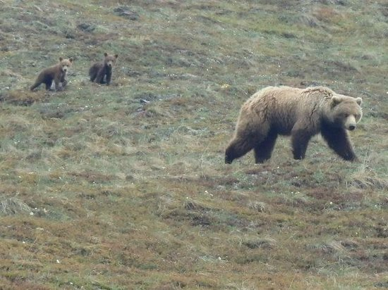 Denali Visitor Center : Baby bears