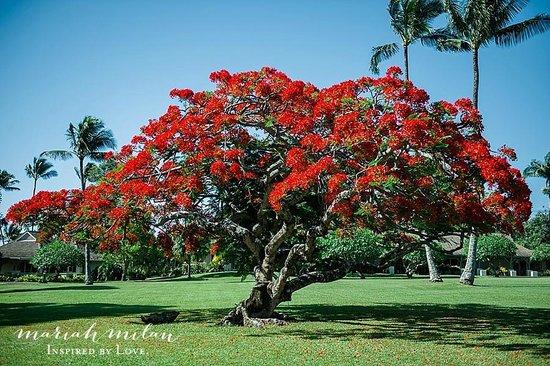 Travaasa Hana, Maui: Blooming tree on property
