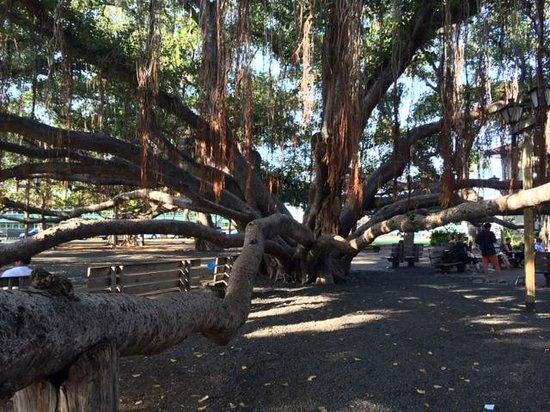 Banyan Tree Park: One tree!