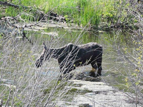 Jackson Hole Eco Tour Adventures: Moose seen on Eco Tour Adventure