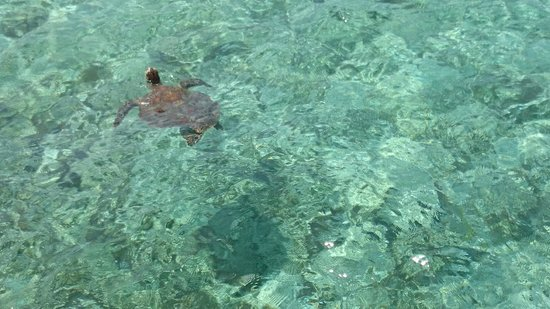Lankayan Island Dive Resort : Friendly turtle