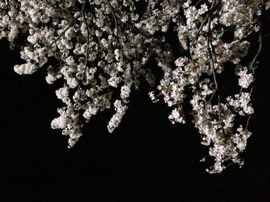 Gongendo Sakura Tsutsumi: 4月5日の権現堂