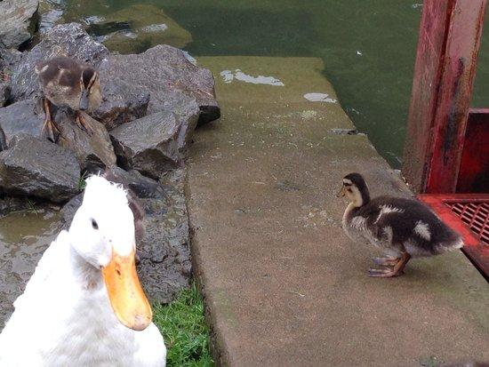 Fly Creek Cider Mill's Snack Barn Restaurant & Bakery : Ducklings!