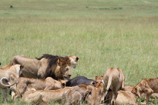 Tanke Tours: lví lov