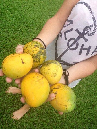 Hana Accommodations: Mangos right in our backyard of the 3 bedroom bungalow