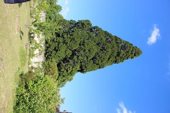 Chateau de la Chausee: the huge Secoya tree in the garden