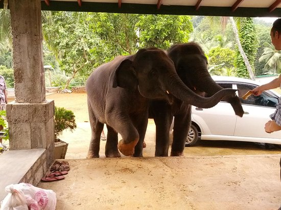 Elephant Freedom Project: Sujee and Wasthu greeting us at the door
