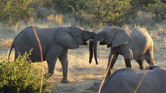Halali Resort: Elephants galore