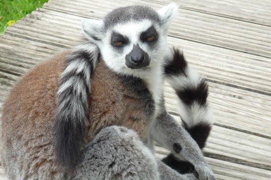 Blackpool Zoo: Lemur Walk Through Enclosure