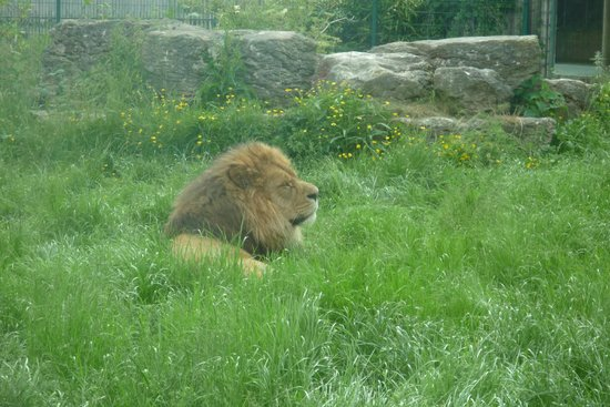 Blackpool Zoo: Lion Enclosure (He was being Lazy, we went twice and I dont think he had moved)