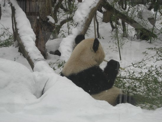 Tiergarten Schoenbrunn - Zoo Vienna : Панда обиделась